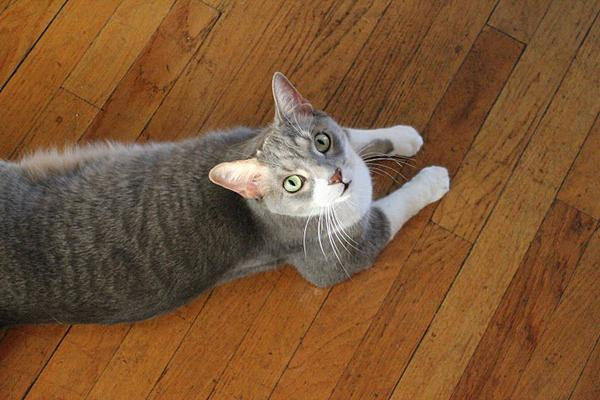 Three Northwestern seniors raised more than $500 to fund a surgery for their cat, Jasper. Friends, family and members of the NU community donated to the effort, which took less than one week.