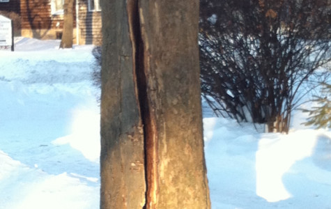 Evanston sycamore trees suffer severe splits during storm