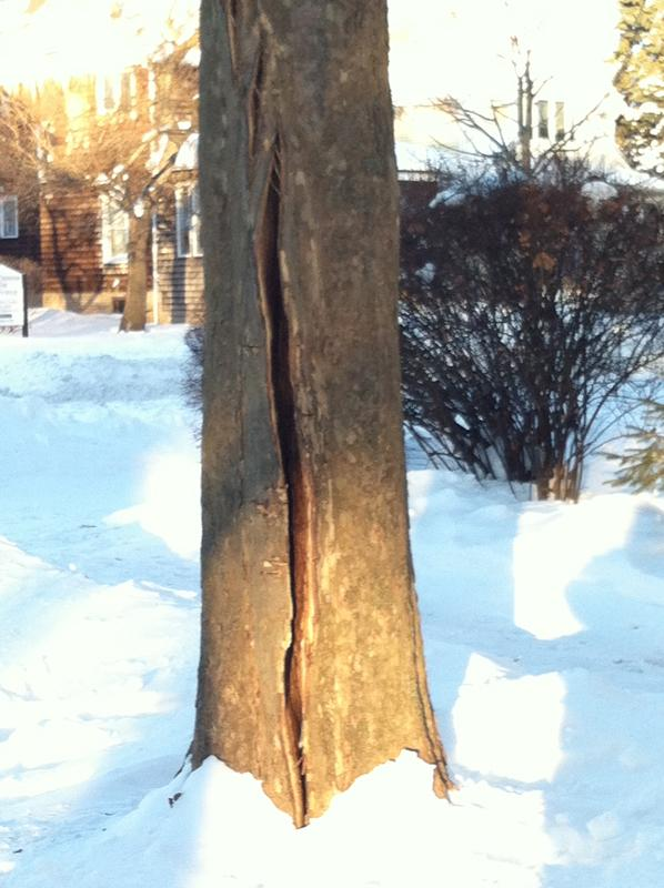 Extreme+cold+temperatures+may+have+split+the+trunks+of+several+sycamore+trees+around+Evanston.+Public+works+officials+plan+to+present+a+report+to+City+Council+on+Monday.