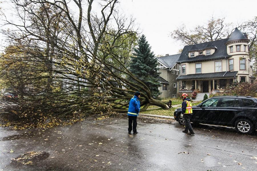 A tree lies uprooted near the intersection of Foster Street and Orrington Avenue on Friday. High winds of about 40 mph hit the city, causing multiple trees to fall and Northwestern University Police to close the Lakefill due to strong waves from Lake Michigan.