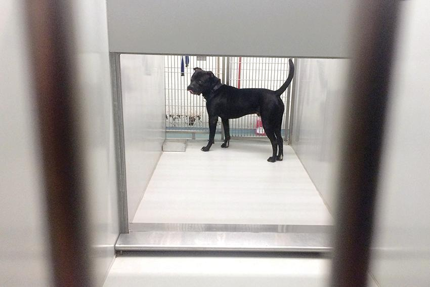 A+dog+stands+in+his+kennel+at+Evanston+Animal+Shelter%2C+2310+Oakton+St.+Aldermen+approved+Monday+an+amended+animal+welfare+policy+updating+the+shelter%E2%80%99s+protocol+for+euthanizing+animals+based+on+behavioral+problems.