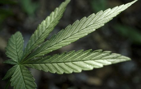 A cannabis leaf. Legislation introduced last week would legalize recreational marijuana in Illinois to help ease the budget deficit.