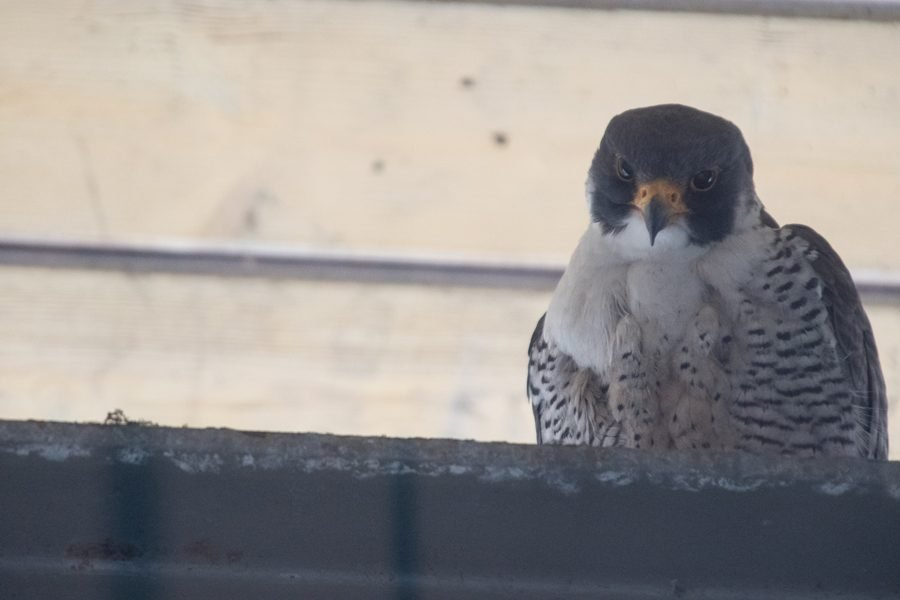 Squawker%2C+a+male+peregrine+falcon%2C+sits+on+a+structure+at+the+Evanston+Public+Library.+Squawker+has+returned+to+Evanston+for+13+seasons.+