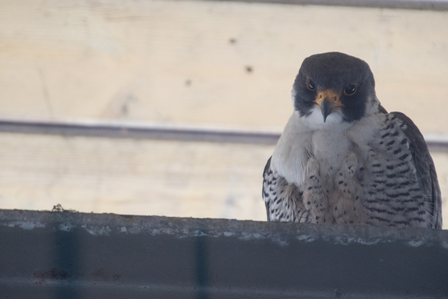 Squawker, a male peregrine falcon, sits on a structure at the Evanston Public Library. Squawker has returned to Evanston for 13 seasons.