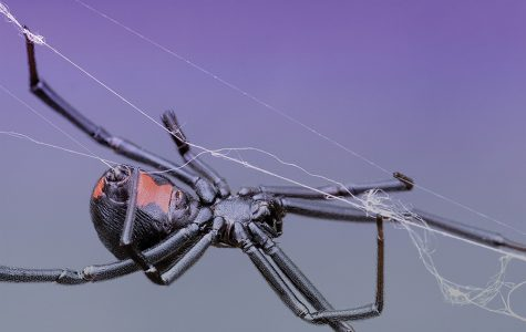 NU researchers discover how black widow spiders' webs can be used to produce equally strong materials
