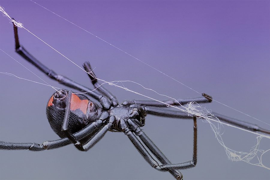 Researchers recently discovered the process of how spiders transform proteins into steel-strength fibers, which may help scientists make equally strong synthetic materials in the future.