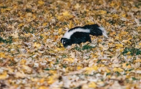 As colder temperatures bring fewer sightings, students reflect on abundance of skunks this fall