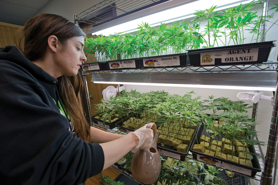 Elyse Jones waters marijuana clones at a medical marijuana dispensary in San Jose, Calif., where marijuana is legalized. In Illinois, any person convicted of possessing more than 10 grams or those accused of selling the drug can face prison time.