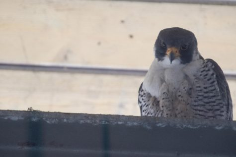 Peregrine Falcons to be named and banded next month at Evanston library