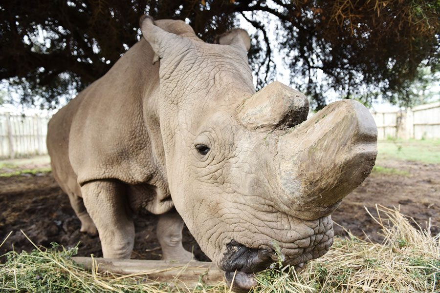Sudan, the last male northern white rhino, feeds himself inside an enclosure at Ol Pejeta Conservancy in Nanyuki, Kenya, on April 18, 2015. Illinois joins multiple other states in filing a lawsuit against the Trump administration's proposed changes to the Endangered Species Act.