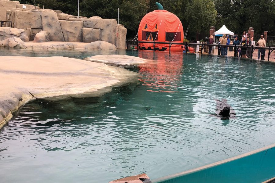Kovler Seal Pool during Fall Fest. Even as the weather cools down, zoo employees will train with the seals every day at the seal pool.