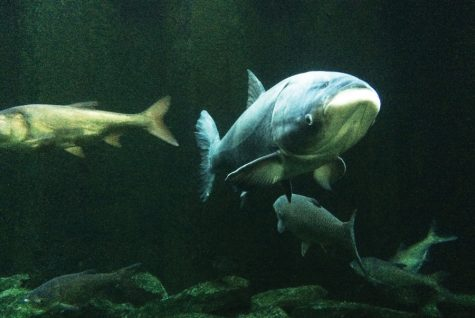 As Asian carp inch closer to the Great Lakes, experts tackle possible solutions