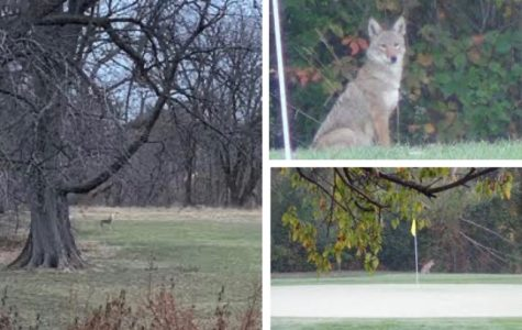 Coyotes Evanston resident Sue Gartzman has spotted near the Canal Shores Golf Course. An estimated 2,000 to 4,000 coyotes reside in Cook County, according to the Urban Coyote Research project.