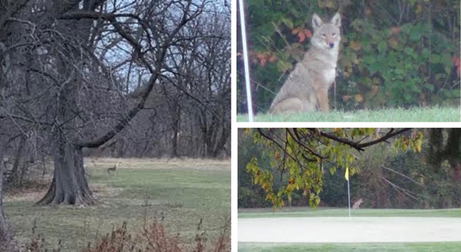 Coyotes Evanston resident Sue Gartzman has spotted near the Canal Shores... </p> <p><a href=