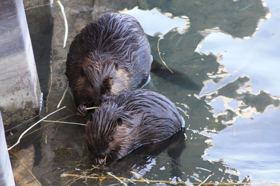 Two+wet+beavers+on+edge+of+dam+chewing+on+twigs.