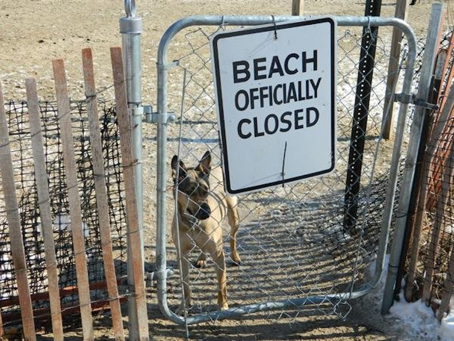 """A dog stands behind a metal gate with a """"Beach Officially Closed"""" sign."""